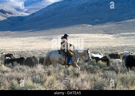 Native american indian cowboy herding cattle near McDermitt, Nevada, USA. - Stock Photo