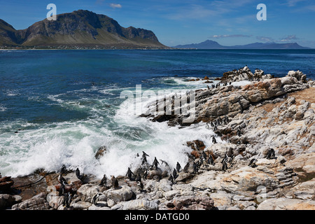 colony of African Penguin, Spheniscus demersus, on rocks of Betty's Bay, Cape Town, Western Cape, South Africa - Stock Photo