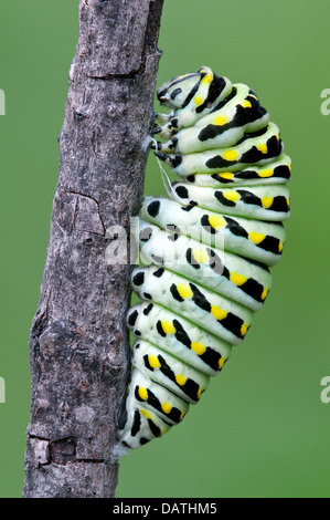 Pre-pupa stage of E Black Swallowtail Butterfly Papilio polyxenes E USA - Stock Photo