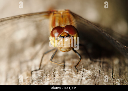 Closeup of a Common Darter dragonfly - Stock Photo