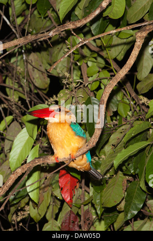 Stork-billed Kingfisher (Pelargopsis capensis) roosting on branch in lowland riparian forest at night - Stock Photo