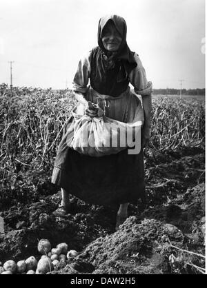 agriculture, harvest, harvesting potatoes, old farmer's wife at work, 1950s, , Additional-Rights-Clearences-Not - Stock Photo