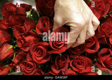 A salesperson grabs a rose from Columbia in a wholesale flower market in Hamburg, Germany, Monday, 12 February 2007. - Stock Photo