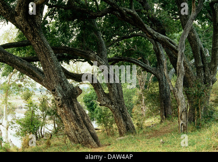 Jackal-Berry Tree on the Crocodile river, Kruger national Park, South Africa - Stock Photo