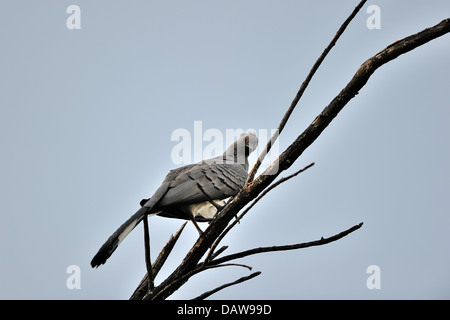 White-bellied Go-away-bird (Corythaixoides leucogaster) perched on dead tree Baringo - Kenya - East Africa - Stock Photo