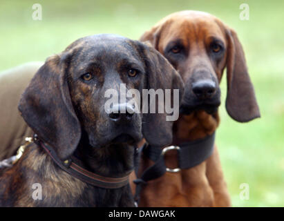 Police dogs Quincy (L), a Black Forest bloodhound, and Dr. Watson, a Bavarian mountain bloodhound, are pictured - Stock Photo