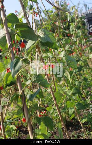Runner beans flowering on canes - Stock Photo