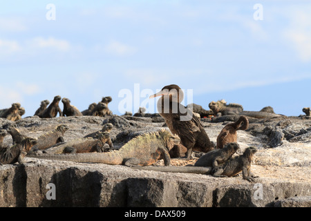 Marine Iguana, Amblyrhynchus cristatus, Flightless Cormorant, Phalacrocorax harrisi, Punta Mangle, Fernandina Island, - Stock Photo
