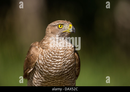 Extreme close-up of a wild Female Northern Goshawk (Accipiter gentilis )in a forest, soft-focus green and black - Stock Photo