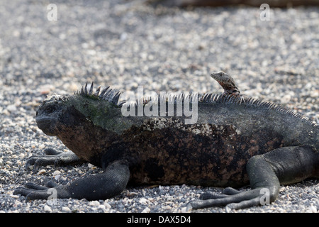 Marine Iguana, Amblyrhynchus cristatus, and, Galapagos Lava Lizard, Microlophus, Punta Espinoza, Fernandina Island, - Stock Photo
