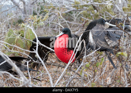 Red Gular Pouch, Frigatebirds, Fregatidae, Fregata, North Seymour, Galapagos Islands, Ecuador - Stock Photo