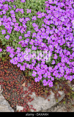 Purple rock cress (Aubrieta deltoidea) - Stock Photo