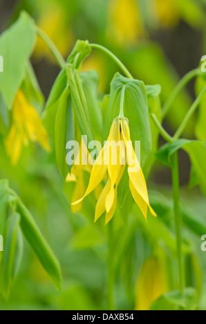 Large-flowered bellwort (Uvularia grandiflora) - Stock Photo