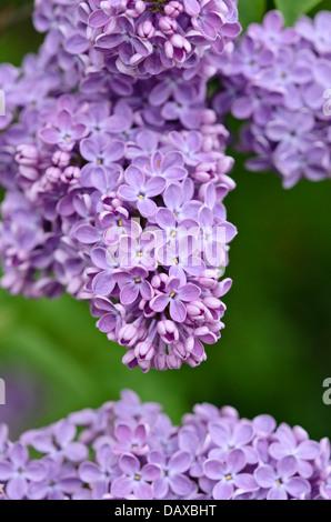 Common lilac (Syringa vulgaris) - Stock Photo