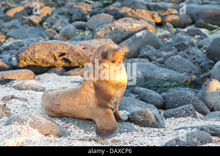 Galapagos sea lion pup, Zalophus wollebaeki, La Loberia, Beach, San Cristobal Island, Galapagos Islands, Ecuador - Stock Photo