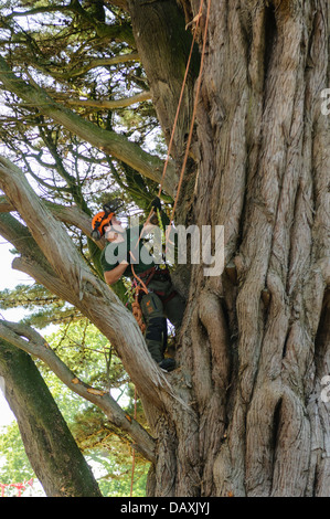 A tree surgeon uses ropes and climbing equipment to climb a very large tree - Stock Photo