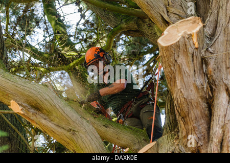 A tree surgeon uses a chainsaw to cut branches from a tree - Stock Photo