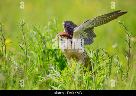 Lanner falcon (Falco biarmicus) in a meadow, preparing to take off - Stock Photo