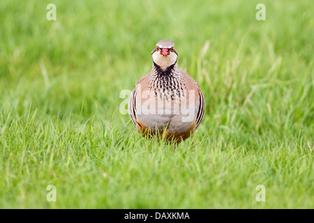 Wild Red-legged partridge (Alectoris rufa) in grass - Stock Photo