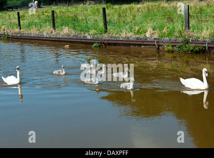 A Pair of Mute Swans with Six Cygnets on the Trent and Mersey Canal near Rode Heath Cheshire England United Kingdom - Stock Photo