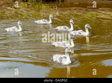 Six Young Cygnets Swimming Along The Trent and Mersey Canal near Rode Heath Cheshire England United Kingdom UK - Stock Photo