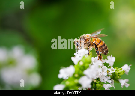 Close-up of a Honey Bee sitting on a white flower in a domestic garden. - Stock Photo