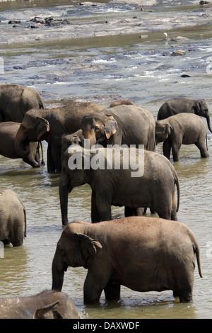 ASIAN ELEPHANTS IN MAHA OYA RIVER PINNAWALA ELEPHANT ORPHANGE SRI LANKA 12 March 2013 - Stock Photo