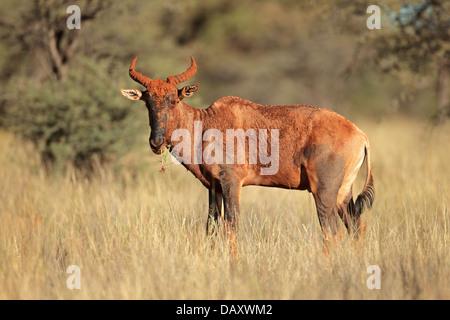 Rare tsessebe antelope (Damaliscus lunatus), South Africa - Stock Photo