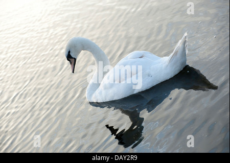 graceful white swan on water at sunset and during day lone swan in sunset with shadow - Stock Photo