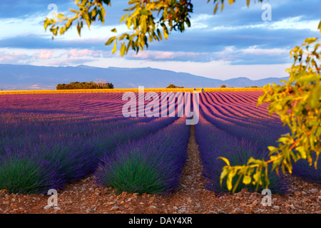 Beautiful lavender field in Provence, France. - Stock Photo