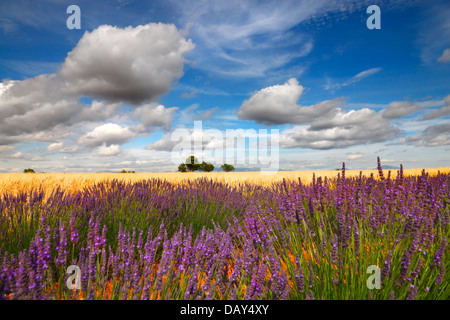 Lavender field with beautiful clouds, Provence France. - Stock Photo