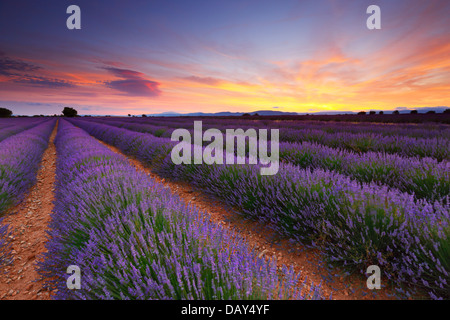 Lavender field sunset landscape - Stock Photo