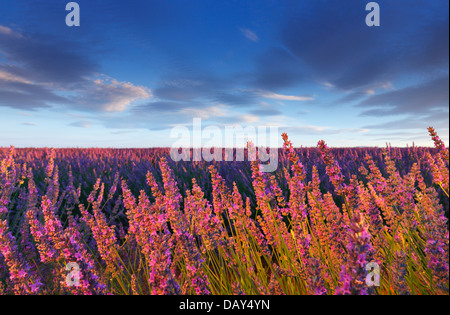 Lavender flower in Provence - Stock Photo