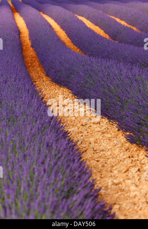 Lavender field, Provence - Stock Photo