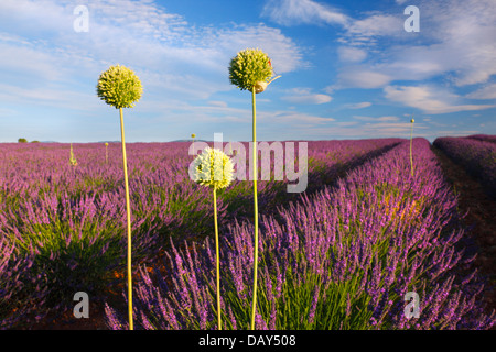 Three allium flowers in lavender field in Provence, France - Stock Photo