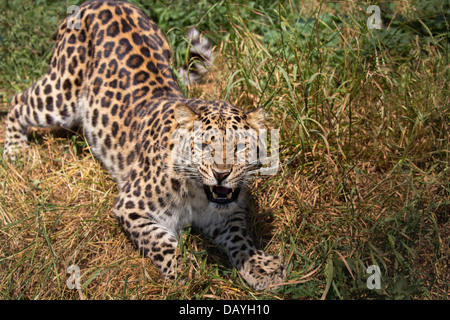 Amur Leopard, growling - Stock Photo