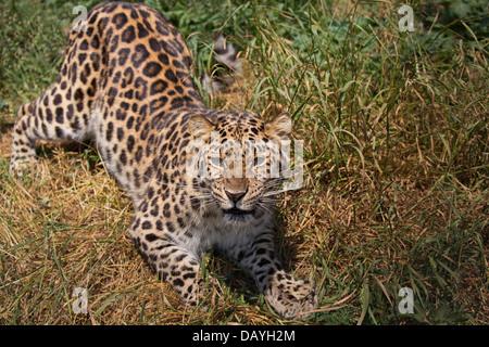 Amur Leopard, snarling - Stock Photo