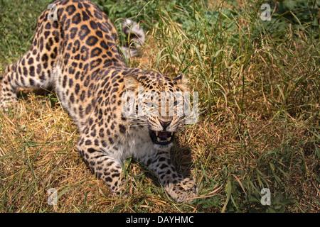 Growling Amur Leopard - Stock Photo