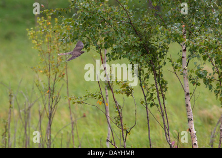 Common Cuckoo (Cuculus canorus) in flight. - Stock Photo