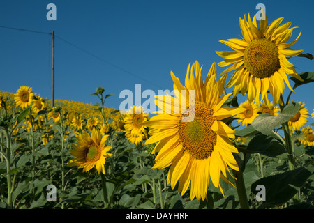 sunflowers facing east - Stock Photo