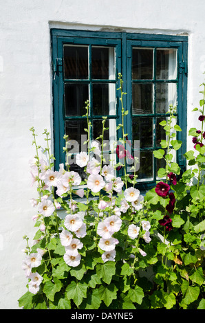 Summer flowers, hollyhocks, in front of an old window. - Stock Photo