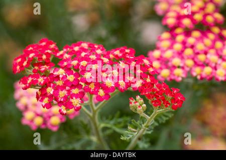 Achillea millefolium 'Red Velvet'. Yarrow growing in the garden. - Stock Photo