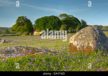Late evening light falls upon the bluebells on Emsworthy's western lawn and the Oaks surrounding the much revered - Stock Photo