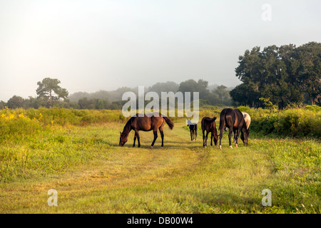 Florida Cracker herd grazing on Paynes Prairie with a stallion, foal yearling and mares. - Stock Photo