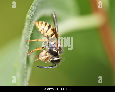 Common Wasp with prey - Stock Photo
