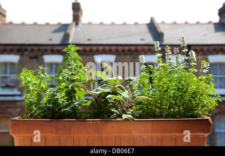 Oregano, Sage and Lemon Thyme growing in Window Box of London Home - UK - Stock Photo
