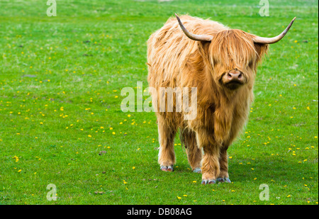 Red highland cow on a pasture in Zwin, Belgium. - Stock Photo