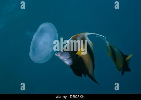 Red Sea bannerfish eats Aurelia jellyfish. - Stock Photo