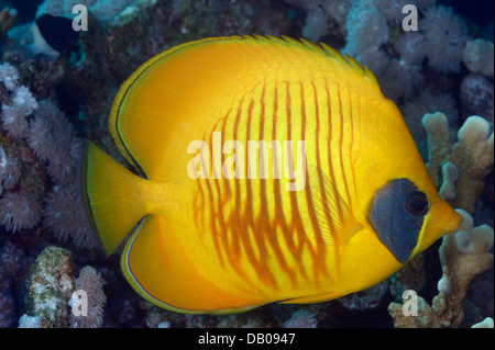 Yellow butterflyfish at the coral reef. - Stock Photo