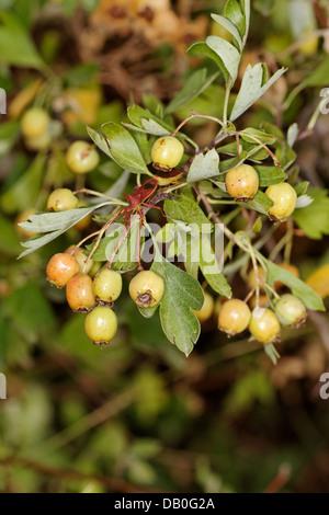 Prunus avium, sweet cherries, Spain. - Stock Photo